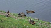 short film : Close up view of a group of ducks near river. Birds concept. Beautiful nature backgrounds.