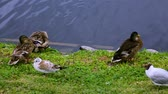 кряква : Close up view of a group of ducks near river. Birds concept. Beautiful nature backgrounds.