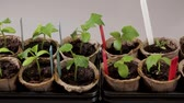window gardening : Growing tomatoes and cucumbers plants indoors before season. Beautiful nature backgrounds.