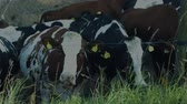 anti : Close up view of group of cute cows isolated. Beautiful animals background.