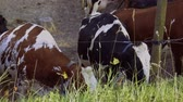 Close up view of group of cute cows isolated. Beautiful animals background.