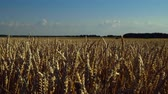 Gorgeous view of wheat field on sunset. Nice nature landscape. Vidéos Libres De Droits