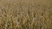 Close up view of part of wheat field. Summer background. Agriculture concept.