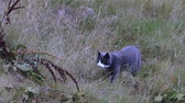 jagen : Cute gray cat creeping in grass on natural landscape. Beautiful animal backgrounds. Videos