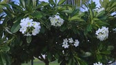 blühender baum : Close up view of beautiful white flowers on green leafs background. Natural backgrounds. USA