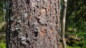 tronco de árvore : Slow motion. Beautiful view of bark of an old pine tree. Beautiful nature backgrounds. Stock Footage