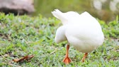 animal : Duck in the farm