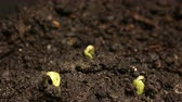 reforestation : Germinating Seed Growing in Ground Agriculture Spring Summer Timelapse