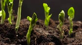 evolução : Time lapse of vegetable seeds growing or sprouting from the ground Vídeos