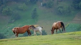 tail : Wild horses Grazing on a field in the mountains Stock Footage