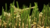 reforestation : Fresh Green Wheat Growing. Timelapse with growing plant New Life