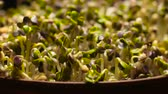kiemkracht : Growing Plants Timelapse Pea Sprouts Germination