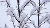 harikalar diyarı : Snow falling on tree branches in Winter christmas season background. Beautiful nature landscape