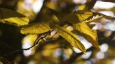 eikenblad : Autumn Leaves nature background, Leaf swinging on a tree in autumnal Park. Fall. Autumn colorful park.