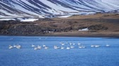 hattyú : White Swan in Lake Mountains Landscape. Swans in the winter Iceland. Stock mozgókép