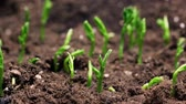 mudas : Growing plants in spring timelapse, sprouts germination newborn green plant in greenhouse agriculture