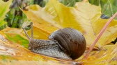 caracol : snail on yellow maple leaves