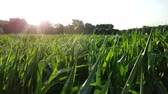 kernels : Corn field at sunset