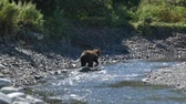 kurban : The bear catches fish in the river on Kamchatka