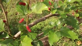 quadro negro : Fresh ripe juicy red mulberry from trees, full HD 1920x1080, slow motion