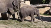 elephas maximus : Young Asiatic Elephant and his mother eating hay. Stock Footage