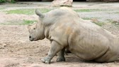 white lipped : Southern white rhinoceros (Latte Ceratotherium simum simum). Largest existing species of rhinoceros. Stock Footage