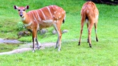 camarões : Sitatunga or marshbuck (Tragelaphus spekii). Swamp-dwelling antelope found throughout central Africa.