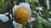 мандарин : Mandarin tree in the garden covered with snow