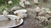 Domestic ducklings drink water, pinch grass, replenish food supplies