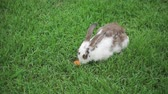 králíček : Rabbit on the green grass eats a carrot