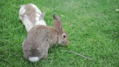 abril : Two rabbit on the green grass play and eat grass Stock Footage