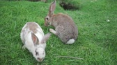 konijnen : Two rabbit on the green grass play and eat grass Stockvideo