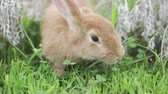 animales granja : Fluffy domestic rabbit eating grass on the lawn peeking out of flowers