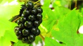 uva passa : Bunch of dark grapes swaying in the sunshine. Shiny grapes on a background of yellow-green leaves.