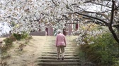 bloom : Old man walking in the cherry tree