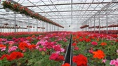 菊 : Large glass greenhouse with flowers. Growing flowers in greenhouses. Interior of a modern flower greenhouse. Flowers in flowerpots.