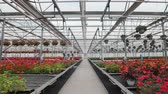 krizantem : Large glass greenhouse with flowers. Growing flowers in greenhouses. Interior of a modern flower greenhouse. Flowers in flowerpots.