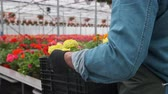 flower production : Happy Industrial Greenhouse Worker Carry Boxes Full of Flowers. Smiling and Happy man with flowers he Growing. Stock Footage