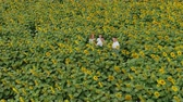 flower production : Agriculture scientists with tablet working on sunflower field. Aero Flight.