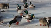 feeding ducks in the winter time Stock Footage