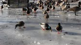 feeding geese and ducks in the winter time
