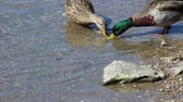 pato real : Male Mallard Duck Scavenging through the water Looking for Food