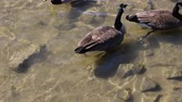 nibbling : Canadian Geese in the water during winter