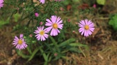 Pink autumn flower Cosmos bipinnatus in the garden. Mexican aster plant in natural environment close-up