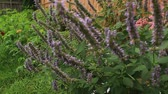 Korean Mint Agastache rugosa flower blossom