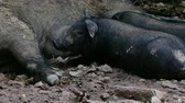 hog : Group of wild boar piglets