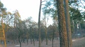 A long panorama of the spring park on the outskirts of the forest with tall pines and young trees, the remains of melting snow, a childrens slide