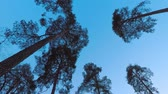 kütük : Old pine trees (pinery) sway in wind against evening sky. Trunks of trees swaying, hissing of wind in branches. Twilight. Windy evening, evening breeze Stok Video