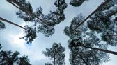 cam : Old pine trees (pinery) sway in wind against sky. Trunks of trees swaying, hissing of wind in branches.