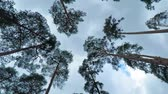 kütük : Old pine trees (pinery) sway in wind against sky. Trunks of trees swaying, hissing of wind in branches.